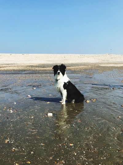 Dog sitting on wet sand looking at the camera. outdoors day side view shadow Sunlight Looking At Camera beauty in Nature Copy Space vanishing point vanishing point Outdoors Day Side View Shadow Sunlight Looking At Camera Beauty In Nature Copy Space Sand Animal Markings Long Haired Dog Pedigree Border Collie One Animal Water Mammal Pets Domestic Sea Domestic Animals Animal Themes Dog Canine Vertebrate Beach Sky Clear Sky Nature