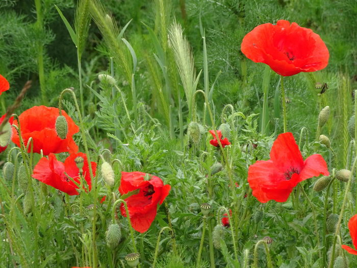 Beauty In Nature Close-up Day Field Flower Flower Head Flowering Plant Fragility Freshness Green Color Growth Inflorescence Land Nature No People Outdoors Petal Plant Poppy Red Vulnerability