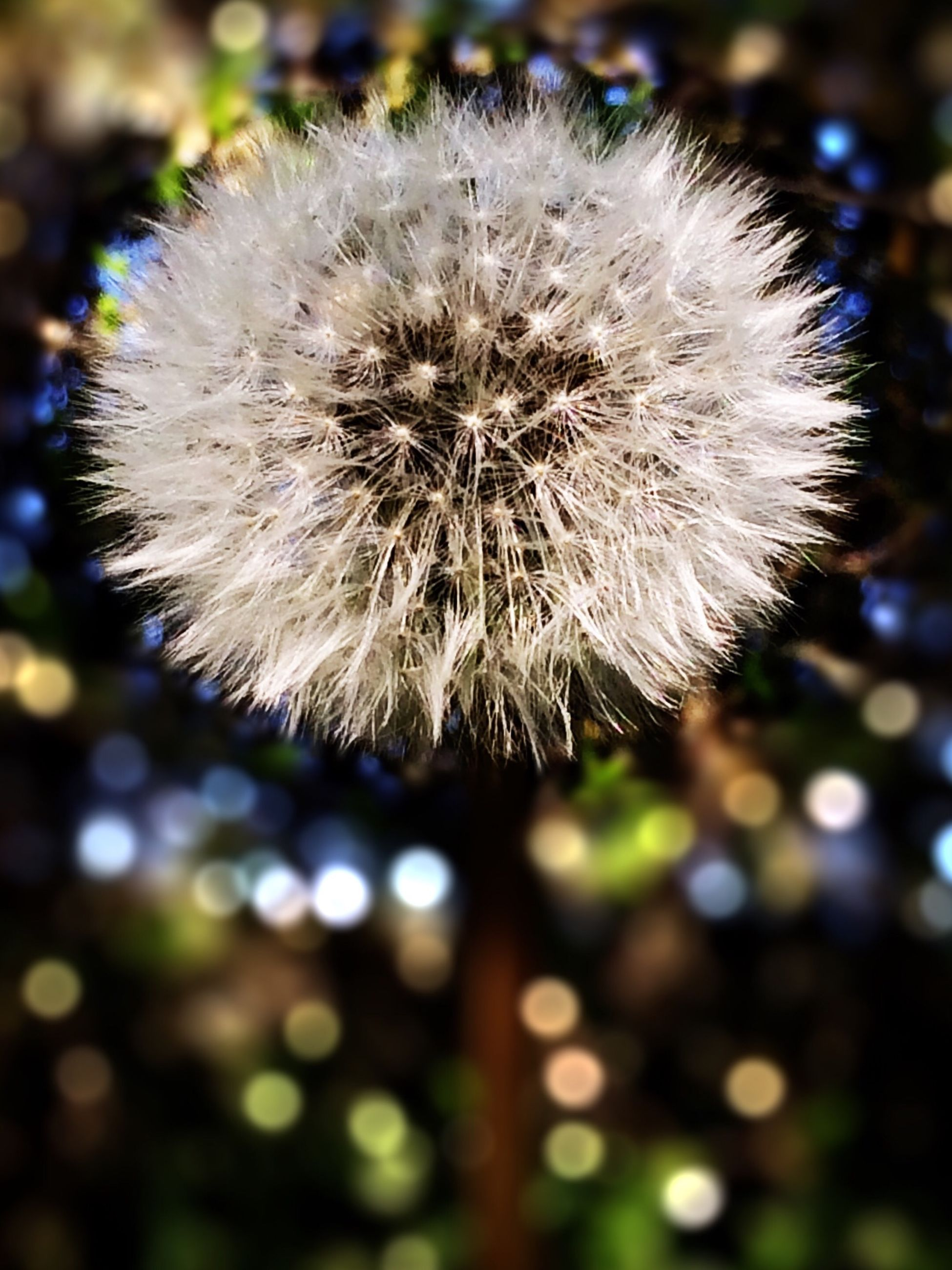 dandelion, flower, fragility, flower head, close-up, freshness, growth, white color, beauty in nature, focus on foreground, nature, single flower, softness, dandelion seed, uncultivated, white, selective focus, wildflower, outdoors, in bloom