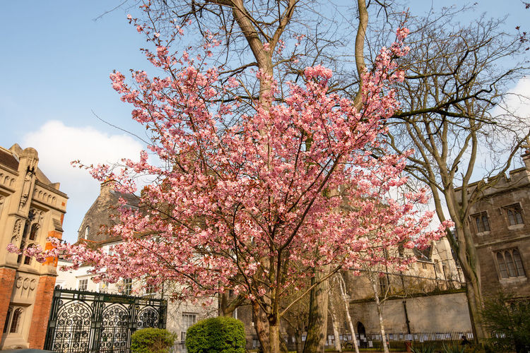 A bight pink blossom tree in full bloom contrasts against bare trees and building in a area of Cambridge city centre, Cambridgeshire, UK. City Centre Nature Pink Tree Bare Trees Bloom Blossom Blue Sky Upwards