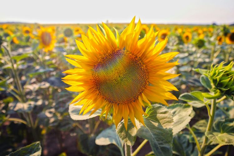 Tournesol Tournesols Field Flowers Flower Le Tournesol Enjoying Life Sunlight Sunrise Sunshine
