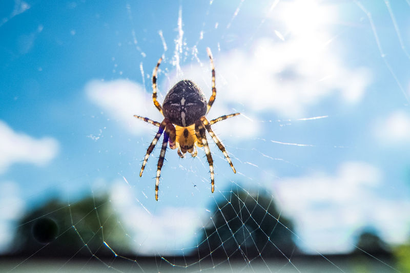 cross spider in web closeup Animal Themes Animal Wildlife Animals In The Wild Araneus Blue Sky Close-up Clouds Cross Spider Day Nature No People One Animal Outdoors Sky Spider Spider Web