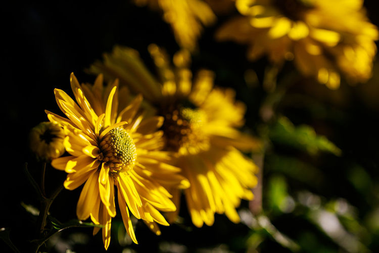 The Great Outdoors - 2018 EyeEm Awards Beauty In Nature Close-up Day Flower Flower Head Flowering Plant Focus On Foreground Fragility Freshness Growth Inflorescence Nature No People Outdoors Petal Plant Pollen Selective Focus Vulnerability  Yellow