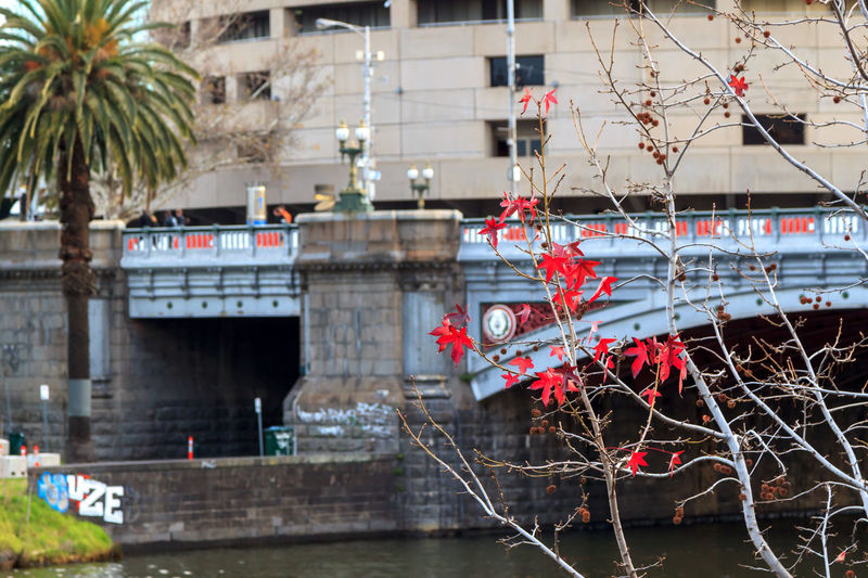 Red autumn leaves with bridge in the background Architecture Bridge - Man Made Structure Building Exterior Built Structure City Day Nature No People Outdoors Red Tree Water