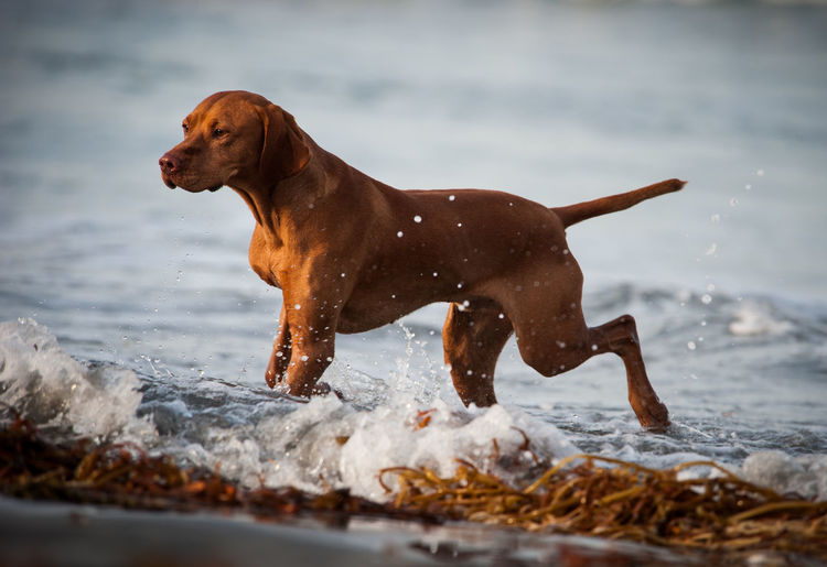 Side View Of A Dog Running In Water