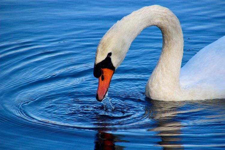 Swan close up before the plunge.... birds of EyeEm beauty in nature water reflections and ripples Animal Wildlife Animal Themes One Animal Outdoors No People