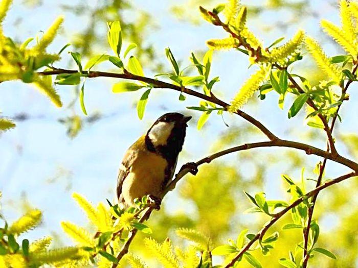 さえずるシジュウカラさん お散歩 野鳥 バードウォッチング シジュウカラ 四十雀 Nikon D5100  Bird