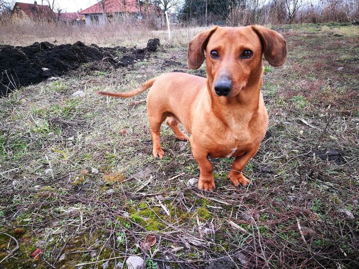 The most guileless and harmless soul Friend Harmony Soul Outdoor Photography Outdoors Original Dashund Dog Pets Domestic Animals Animal Themes One Animal Mammal Portrait