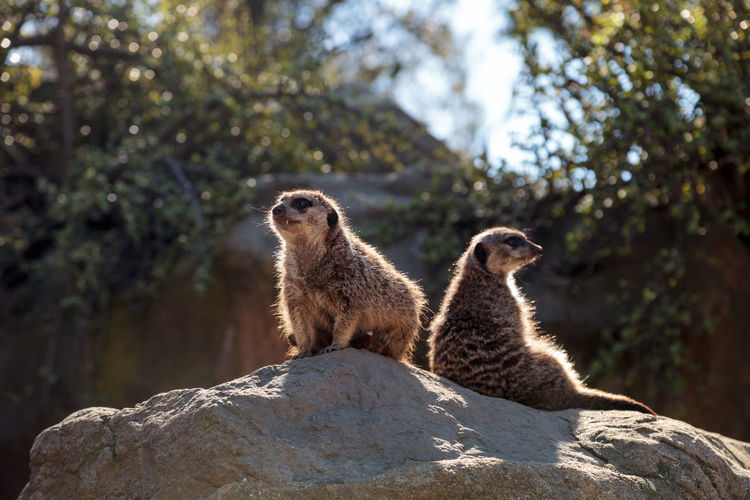 Low Angle View Of Meerkats Sitting On Rock