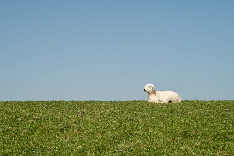 lamb on dike chillin out in the sun Mammal Animal Themes Sky Animal Domestic Animals Grass Clear Sky Nature No People Day Sheep Sunshine Chilling Out Abstract Lamb Dike