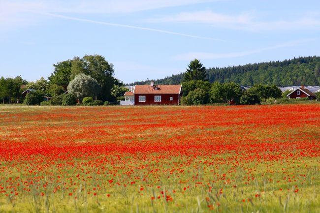 Borghamn, Östergötland, Schweden 43 Golden Moments Beauty In Nature Blooming Field Flower Growth Landscape Nature Plant Red Rural Scene Schweden Sverige Sweden
