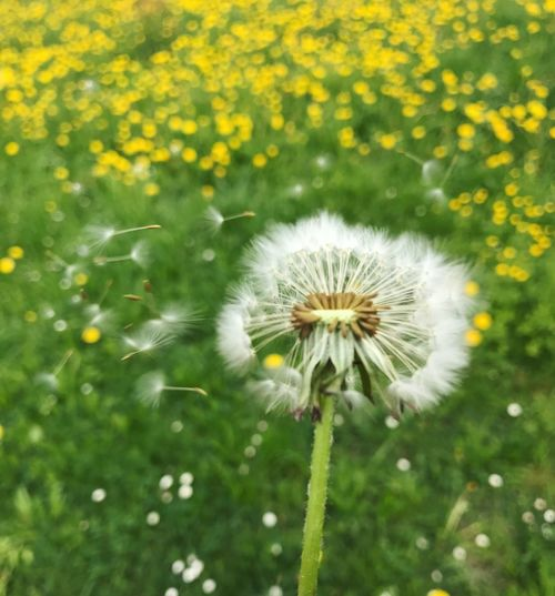 Flower Nature Fragility Beauty In Nature Dandelion Growth Plant Freshness Flower Head Outdoors Field No People Softness Springtime Dandelion Seed Wildflower Blooming Day Close-up Seed Flying Pusteblume