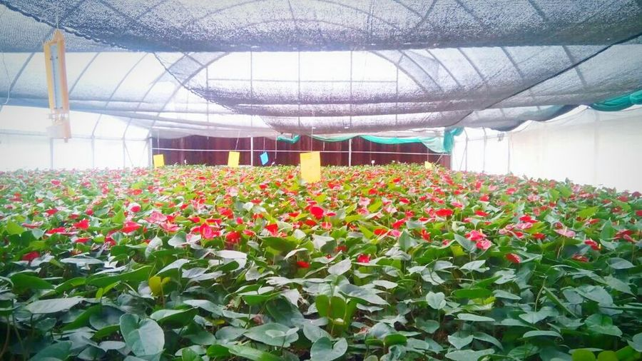 Green House Red Anthurium Red Flower Bed Perspectives On Nature