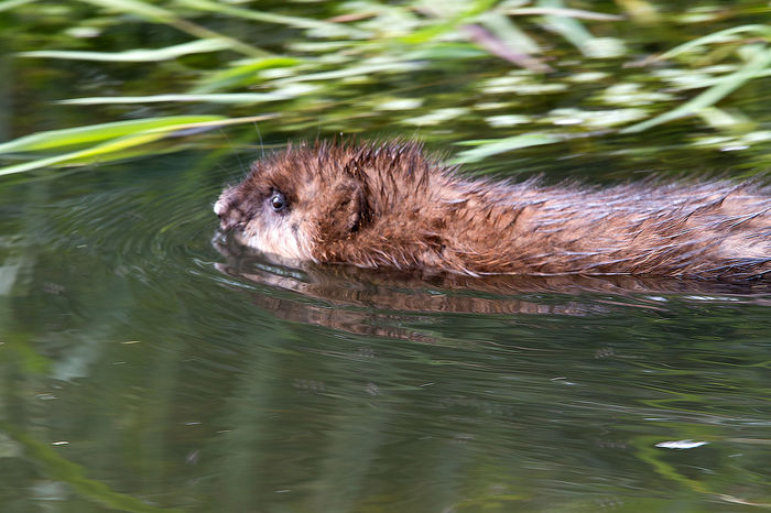 Natural Reserve Ondatra Zibethicus Reflection Animal Themes Animal Wildlife Animals In The Wild Day Mammal Muskrat Nature Nature_collection No People Nofilter One Animal Outdoors River Rodent Swimming Water Waterfront