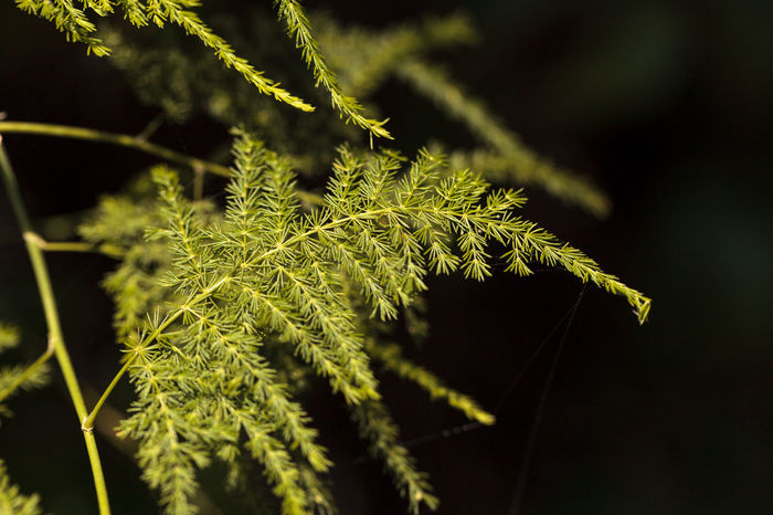 Bright green asparagus fern background in summer Asparagus Fern Background Beauty In Nature Close-up Fern Garden Grass Green Green Color Growth Natural Nature No People Outdoors Plant Plant Texture