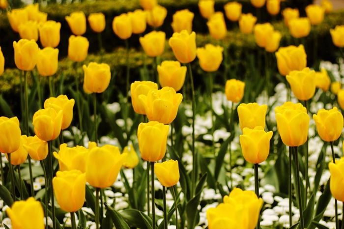 Flower Yellow Nature Growth Beauty In Nature Petal Plant Freshness Fragility Blooming Botany Vibrant Color Outdoors No People Blossom Day Flower Head Field Tulip Close-up Wallpaper Windows Wallpaper Canon600D CanonEOS600D Canoneos