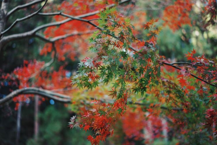 Autamn Leaves Beauty In Nature Maple Leaf Maple Leaves Colorful Fine Art Photography Japanese Culture Taking Photos in Myogi Gunma Prefecture Japan