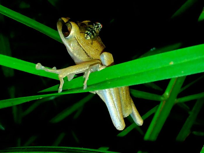 Beauty In Nature Animal Photography Close-up Animals Nature In The Night From The Point Of My View Indonesian Street (Mobile) Photographie Animal Themes Eyem Nature Lovers  Natures Diversities Frog Animal Nature Photography Animals In The Wild Macro Nature