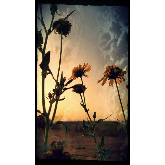 End Of Summer End Of Summer End Of The Day Gloomy Day Gloomy Gloomyday  Flower Collection Flower Yellow Mood Moody Mood Captures Moodygrams Israel Israeloftheday Israelinstagram Israeli Flower No People Flower Head Nature Beauty In Nature Day Fragility