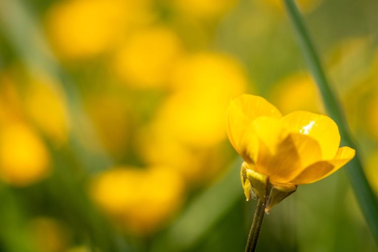 Buttercups Nikon Nikonphotography Macro_collection Macro Eyemphotography Yellow Yellow Flower EyeEm Gallery Nature_collection EyeEm Masterclass Flower Flowering Plant Plant Fragility Vulnerability  Beauty In Nature Growth Outdoors Selective Focus No People Day Plant Stem Focus On Foreground Inflorescence Yellow Nature Flower Head Freshness Petal Close-up