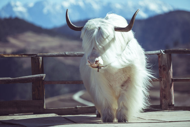 View of a yak on a fence
