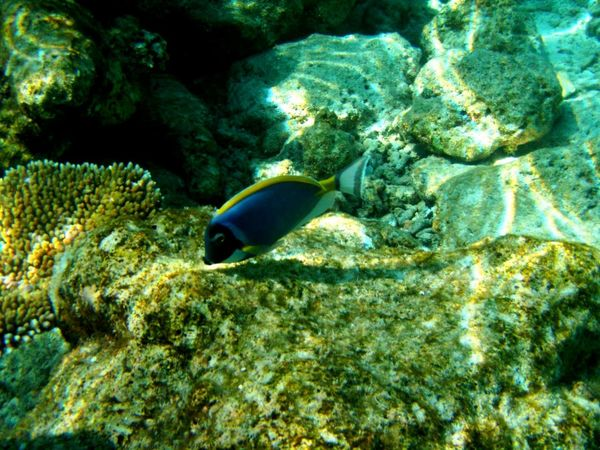 Surgeon Fish Blue Fish Blue And Yellow Exotic Fish Coral Contrast Colors White Sand Colorful Fish Beauty In Nature Multi Colored