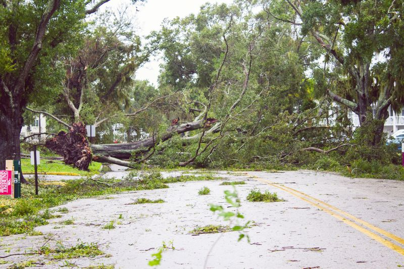 Blocked Road Blocked Path Uprooted Tree Uprooted Fallen Tree Hurricane - Storm Beauty In Nature Tree Hurricane Damage Tropical Storm Clearwater Florida Hurricane Irma 2017 Hurricane Irma Storm Damage Street Natural Disaster Tranquility Nature Outdoors No People Green Color