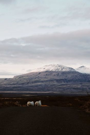 The sheep get the best views in Iceland. IG @noeldxng Iceland Fall Autumn Mountain Roadtrip Adventure No People Landscape Pair Togetherness Snow Cold Temperature Water Mountain Sea Polar Climate Winter Sheep Beach American Bison Grazing Flock Of Sheep Livestock Lamb Pasture The Great Outdoors - 2018 EyeEm Awards The Traveler - 2018 EyeEm Awards A New Beginning