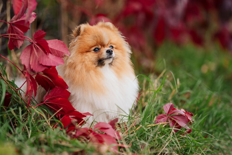 Young german spitz sits on the grass against a background of red wild grapes. autumn mood.