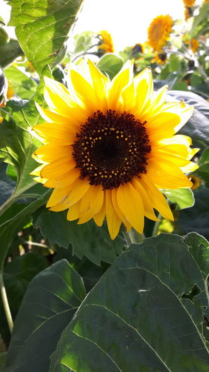 Flower Head Flower Black-eyed Susan Yellow Sunflower Leaf Petal Close-up Blooming Plant