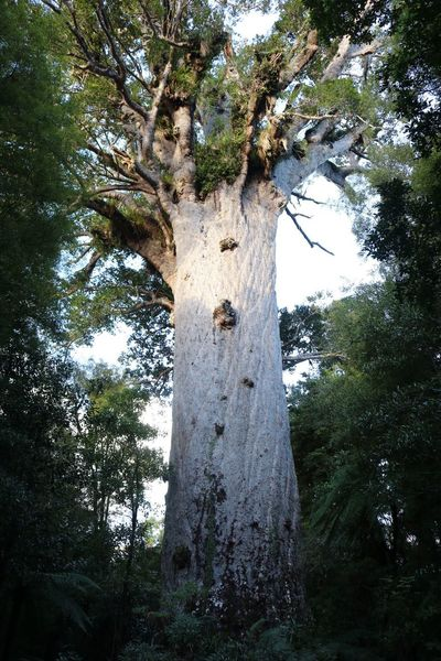 Tane Mahuta Kippipics Nature Tree Outdoors Growth Beauty In Nature Kauri Low Angle View