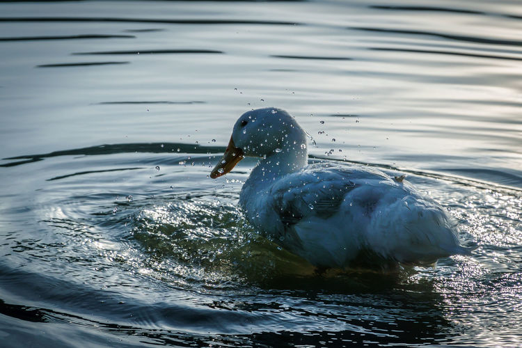 A duck playing with water in a lake Wave Animal Themes Animal Wildlife Animals In The Wild Beauty In Nature Bird Close-up Day Duck Lake Nature No People One Animal Outdoors Rippled Splash Swimming Water Water Bird Waterfront