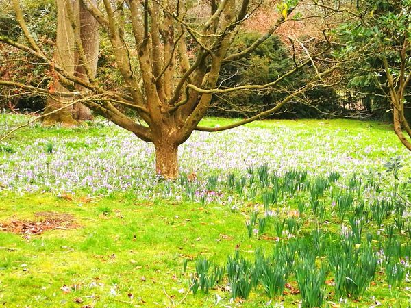 Grass Spring Bulbs Early Spring Crocus Daffodils Narcissus Saffron Park Public Park Growth Nature Grass Green Color Field Tranquility Beauty In Nature Tree Plant Day Tranquil Scene Outdoors No People Scenics Flower