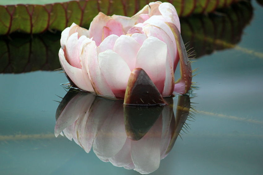 Water No People Nature Day Close-up Waterlilypond Waterlily South Australia Beauty In Nature Reflection