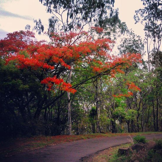 Gulmohar Satara Summerblooms Colorsofnature Street Photography