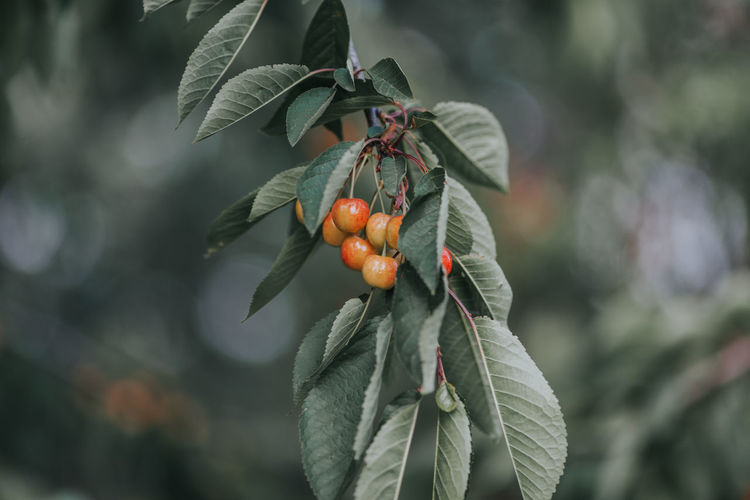 Beauty In Nature Cherries Cherry Cherry Tree Close-up Day Focus On Foreground Food Food And Drink Freshness Fruit Fruits Fruits ♡ Growth Healthy Eating Leaf Nature No People Outdoors Tree