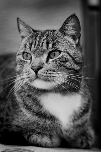 Cats Of EyeEm Pet Photography  Pet Portraits Animal Themes Black And White Bnw Cat Cats Close-up Domestic Animals Domestic Cat Feline Indoors  Mammal No People One Animal Pets Portrait Sitting Whisker