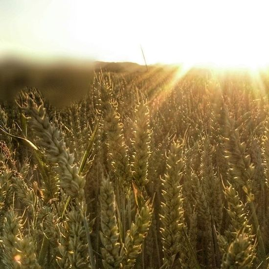 Summertime Sun and Weat Naturshots nature instaplants sunset picoftheday