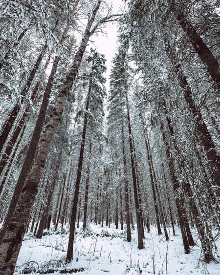 Pine trees in snow covered forest