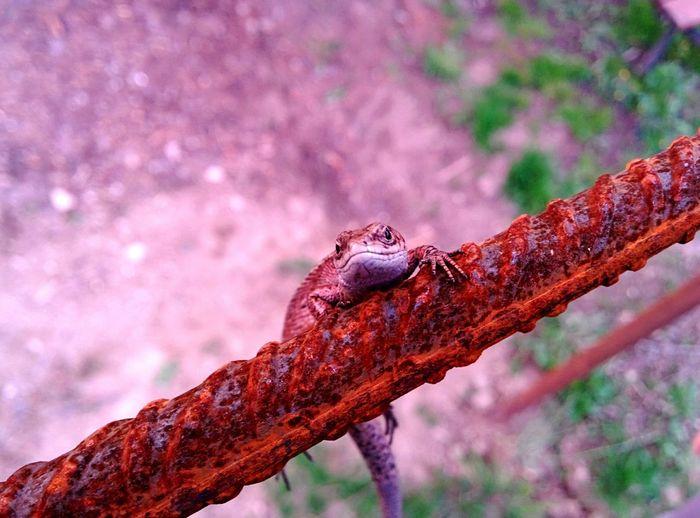 Vatradornei Nature Reptile Lizard
