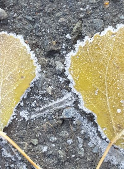frosted Icecrystals Natural Structures Atmospheric Mood Still Life Backgrounds Structures In Nature Colorful Gold Colored Leaves Hoarfrost Hoar Frost Autumn Autumn🍁🍁🍁 Autumn Collection Iced Leaf Fall Leaves EyeEm Best Shots EyeEm Nature Lover EyeEm Selects EyeEm Best Shots - Nature Yellow Close-up Textured  Fallen Fall Golden Fallen Leaf Detail