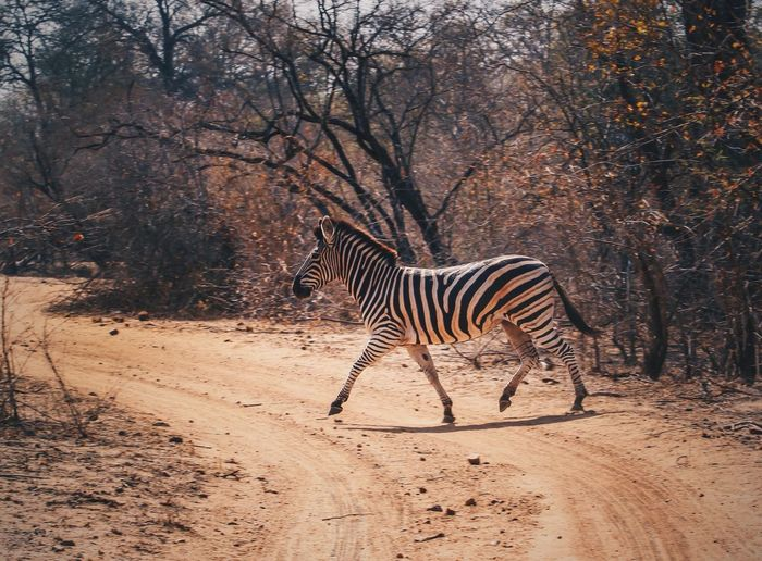 Zebra running on dirt road