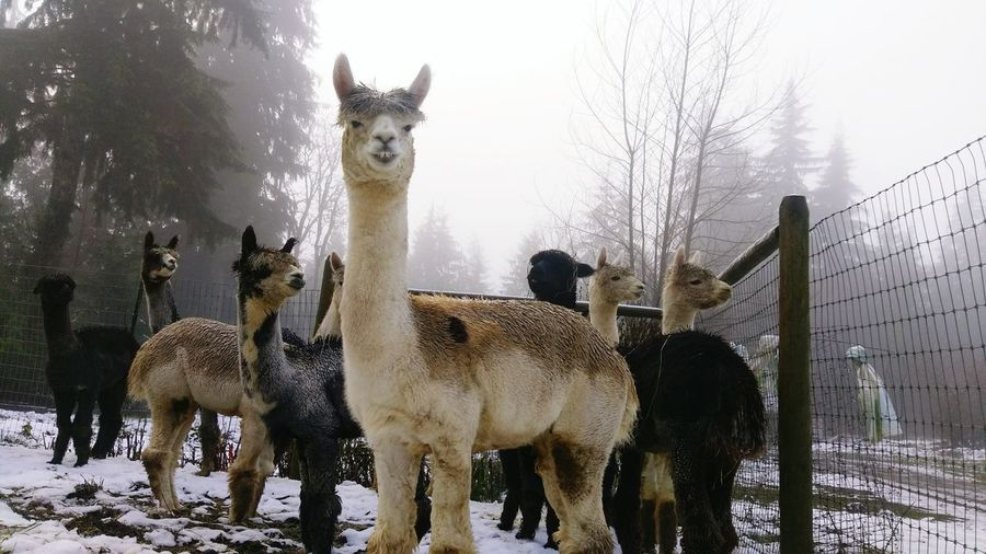 Alpaca, Nature No People Mammal Domestic Animals Farm ranch Animal Themes Animal Wildlife Cold Temperature snow, Tree Deer Outdoors Day