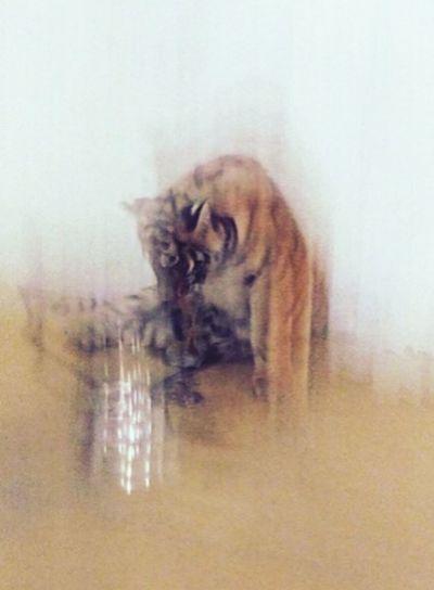 Tiger Animal Orange Zoo