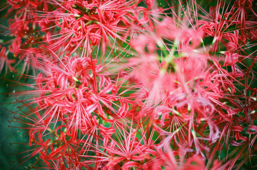 Red Plant Beauty In Nature Close-up Flower Head Japan Film Photography Flower