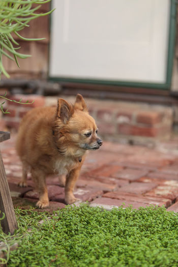 Pomeranian and Chihuahua mix dog explores the garden in Laguna Beach, California. Animal Themes Chihuahua Day Dog Elderly Dog Fat Dog Garden Mammal Mixed Breed Mutt Nature No People Obese Old Dog Outdoors Pomeranian Tan Dog