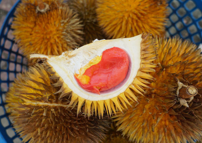 Red colored jungle durian called Durian Dalit native to Borneo Durian Healthy Eating Sweet Food Tropical Fruits Durian Season Durian Fruit Fruits Stall Thailand Malaysia Malaysian Food Fruits Market Exotic Fruits Durio Dalit Durian Tree Spikey Durians Close-up Spiked Spiky