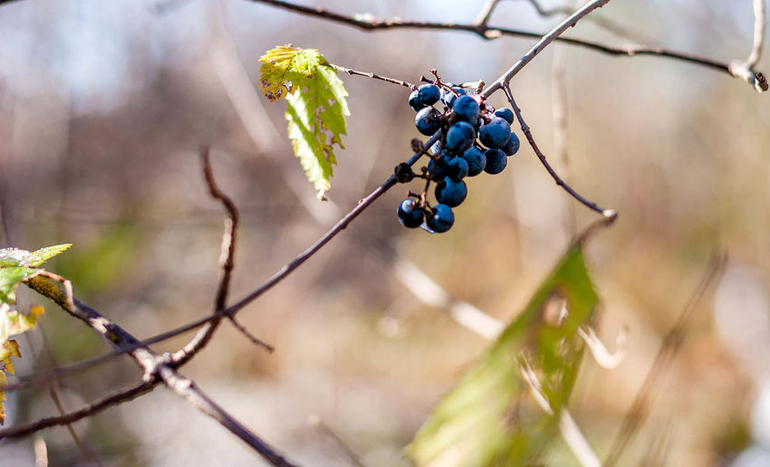 Beauty In Nature Branch Bunch Close-up Day Focus On Foreground Food Food And Drink Freshness Fruit Growth Hanging Healthy Eating Nature No People Outdoors Plant Ripe Tree
