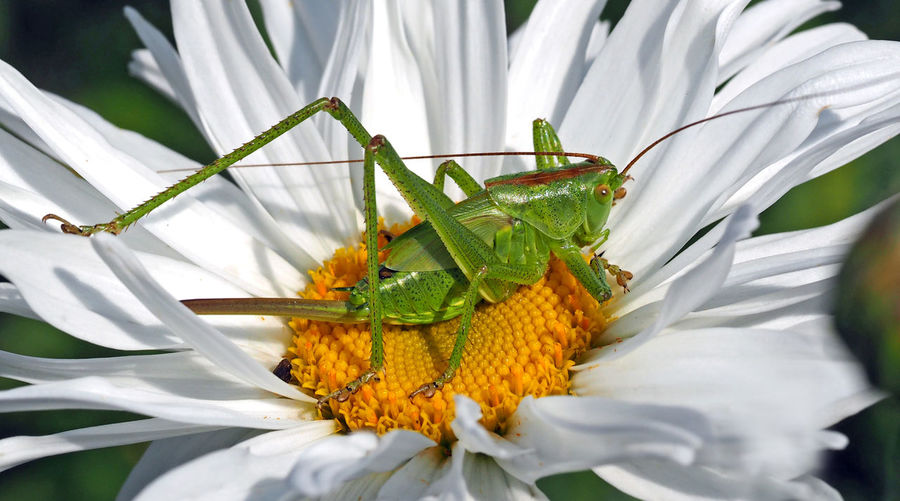 Close-up of grasshopper on white flower