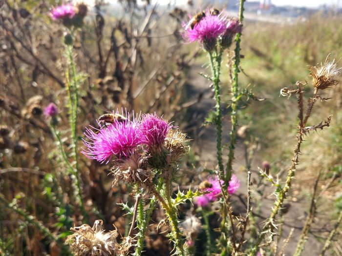 Flower Plant Flowering Plant Fragility Vulnerability  Freshness Beauty In Nature Growth Purple Focus On Foreground Nature Close-up Thistle Flower Head Inflorescence No People Petal Land Day Field Pink Color Outdoors Springtime Pollination